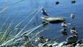 Sea-gull with ducks