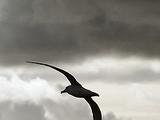 Albatros (Baudelaire, przekł. Ostrowska)