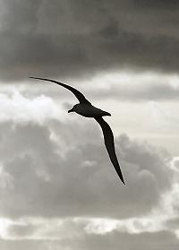 Albatross shape