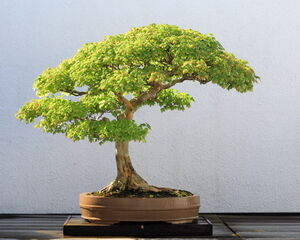 Trident Maple bonsai 52, October 10, 2008