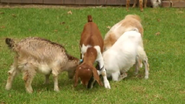 GoatGlissade4