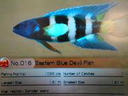 Blue Devil Fish
