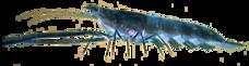 Freshwater Prawn AD