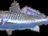 Calfornian Corbina