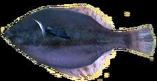 Flounder AD