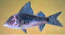 Armored Catfish AD