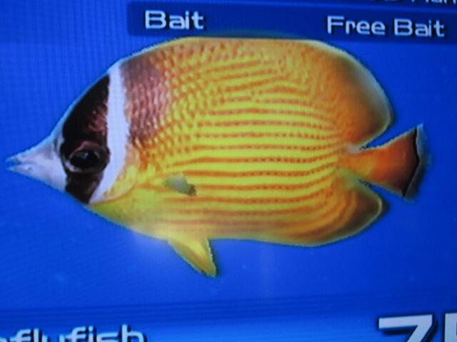 File:OrientalButterflyfish.JPG