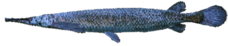 AlligatorGar NB