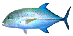 Bluefin Trevally AD