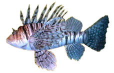 Lionfish AD