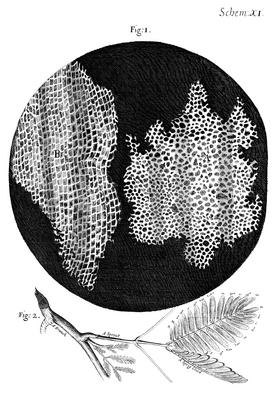 Cork Micrographia Hooke