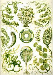 Haeckel Siphoneae