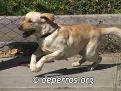 Labrador-retriever-6