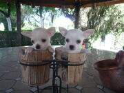 Venta-de-perros-chihuahua-chiguagua-Criadero-Cantillana
