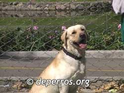 Labrador-retriever-8