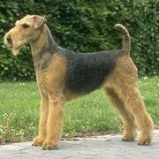 Razas ppal airedale terrier airedale 1