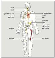 Tissus lymphoides