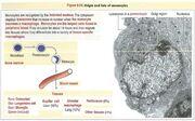 Monocytes macrophages