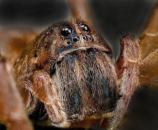 Arthropoda araña 1
