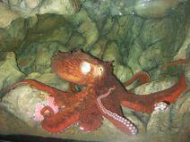 Enteroctopus dofleini in aquarium rotated