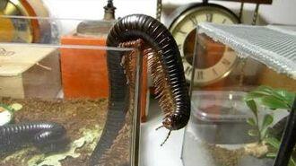 Archispirostreptus gigas - escape from terrarium