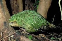Kakapo on ground walking copy