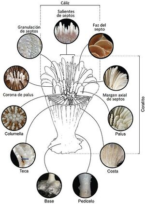 428px-Estructura de coralito. Caryophyllia ZooKeys-227-001-g001