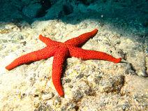 Estrella-de-mar-espinosa-IMG 0099