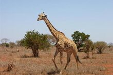 Giraffi-at-tsavo-east