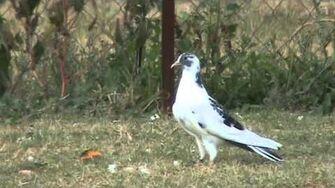 Otzidika pigeons-0