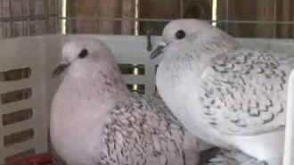 Ice Pigeons