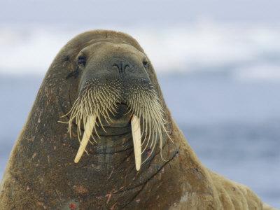 Atlantic walrus | Walrus Wiki | FANDOM powered by Wikia