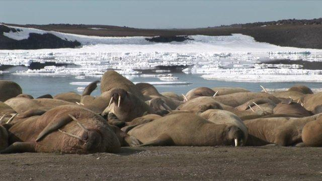 Walrus on Spitsbergen