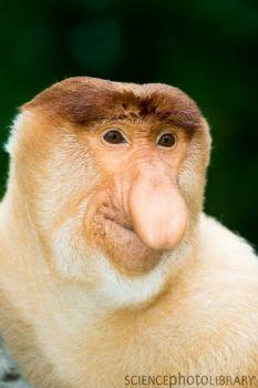 C0011904-Proboscis monkey-SPL