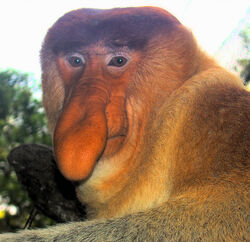 Portrait of a Proboscis Monkey