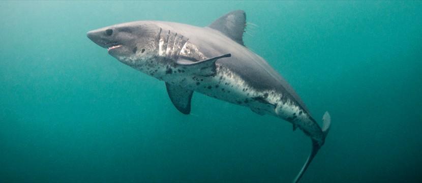 Image Salmon Shark Jpg Wild Kratts Wiki Fandom