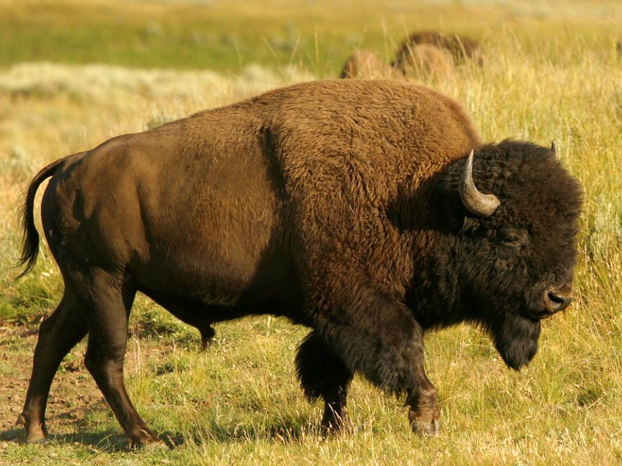 American Bison | Wild Kratts Wiki | Fandom