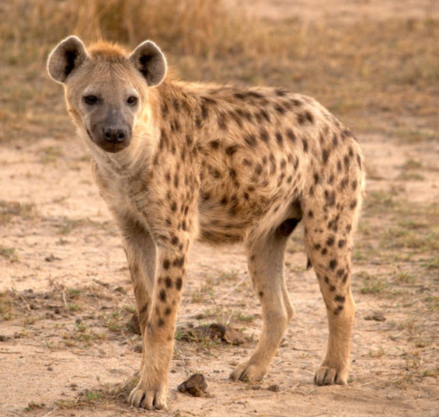 Image of: Spotted Hyena Spotted Hyena Real Life Animation Wild Kratts Wiki Fandom Spotted Hyena Wild Kratts Wiki Fandom Powered By Wikia