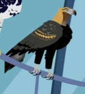 Wedge-tailed Eagle AN