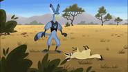 Bat-eared Fox dodges Marshall Eagle