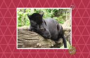 Black Jaguar on Screen