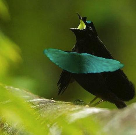 Superb Bird-of-paradise   Wild Kratts Wiki   FANDOM powered