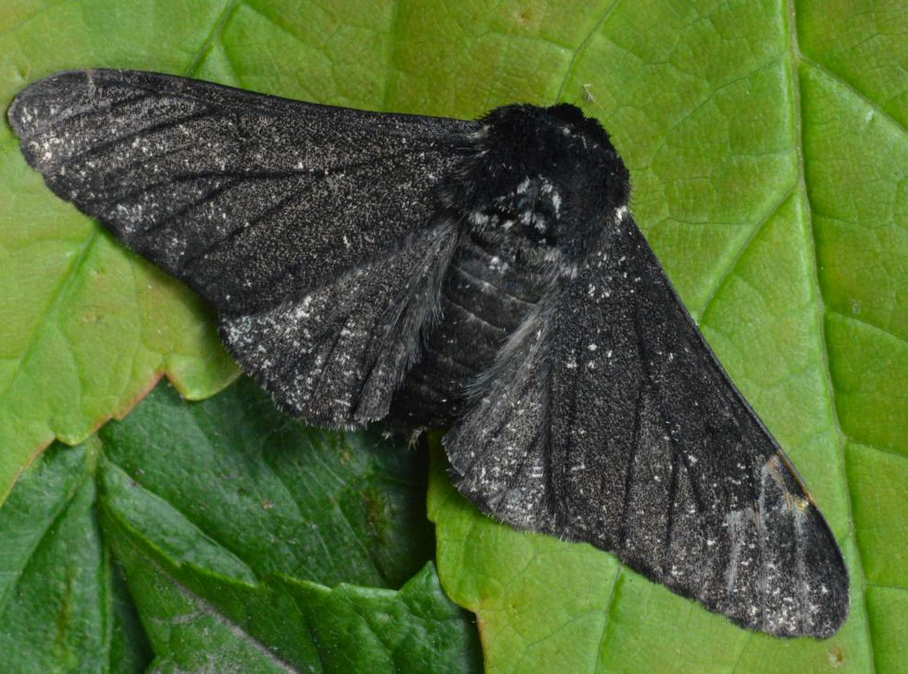 Peppered Moth | Wild Kratts Wiki | Fandom
