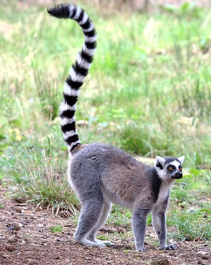 ring tailed lemur wild kratts wiki fandom powered by wikia