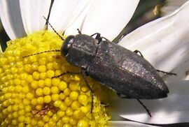 Jewel beetle2