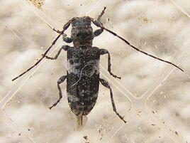 Pogonocherus mixtus