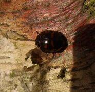 Harlequin ladybird 5