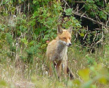 Red Fox (5)