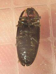 Ellychnia corrusca1