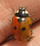 7-spotted ladybird2color
